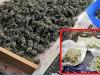 L'odore della marijuana stesa ad essiccare attira i carabinieri, un arresto a Mazara