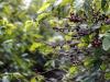 illycaffè, via a sperimentazione su agricoltura rigenerativa
