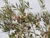 Olio: Coldiretti stima meno 50% produzione toscana in 2021