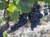 Vinitaly: Coldiretti porta in fiera i grappoli dellItalia