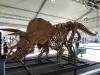 Lo scheletro del triceratopo Big John esposto a Trieste