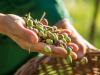 Olio: Farchioni lancia il Bilancio di sostenibilità