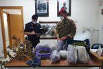 Butera, piantagione di marijuana tra i vigneti: sequestro e arresto