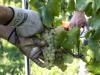 """FVG, Zannier """"Due milioni di investimenti in viticoltura"""""""