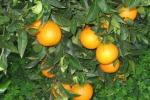 """Sequestrate 7 tonnellate di agrumi nel Catanese, Coldiretti: """"I controlli tutelano i produttori"""""""