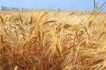 Menfi, il grano è di scena alle cantine Mandrarossa