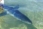 Trovato piccolo squalo bianco a Porto Palo di Menfi: le foto