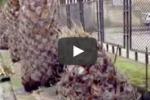 Punteruolo rosso, abbattute 100 palme a Cattolica Eraclea