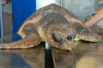 Linosa, soccorsa una tartaruga marina: le immagini
