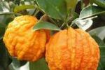 Gli agrumi come ornamento: una mostra ad Acireale