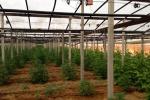 Scoperta una piantagione di marijuana a Riesi, un arrestato
