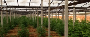 piante-marijuana-a-Villagrazia