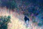 Pantera, dalle foto poche conferme