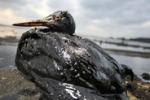 Marea nera, un anno fa il disastro nel golfo del Messico