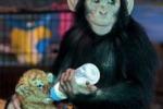 LA FOTO. Il tigrotto e la scimpanze', tempo di coccole a Bangkok