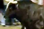 Raton, il toro che ha ucciso 3 volte e' una star in Spagna