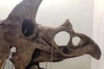 """Dal """"nonno"""" del T-rex al micro-mammifero: la collezione a Trento"""