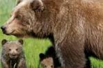 Daniza non resiste alla cattura: polemica sulla morte dell'orsa
