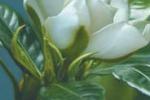 Leonforte, gardenie Aism contro la sclerosi