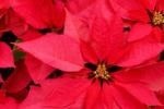 Enna, stelle di Natale in vendita per beneficenza