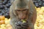 Thailandia, le scimmie e l'abbuffata di frutta
