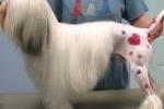 Tatuare i cani, nuova moda negli Usa: gli animalisti s'infuriano