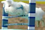In Germania conigli si sfidano al salto agli ostacoli: le foto