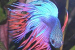 Betta Splendens, il pesce combattente in mostra a Messina