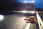 Ragusa, camion investe tre bovini lungo la statale 514