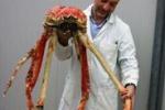 Dal Giappone al museo di Comiso, ecco il granchio gigante
