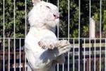 """Dalla Thailandia la tigre bianca che balla il """"Gangnam Style"""""""