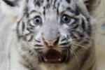 Nati due cuccioli di tigre bianca nella Bergamasca