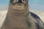 La foca monaca torna nelle isole Egadi: le foto