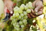 Pantelleria celebra la tradizione millenaria dei vini passiti