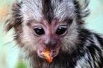 La scimmia mignon nel servizio di Tgs