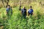 Torretta, blitz in una piantagione di marijuana