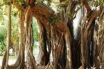 Da Tgs: alberi pericolosi, esperti a confronto a Palermo