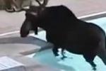 Alce irrompe nella piscina di una villa: le singolari scene