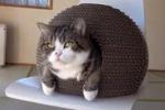 Torna sul web Maru, il gatto con la passione per le scatole