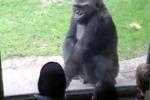 Dallas, Gorilla deriso perde la pazienza e spaventa i bambini