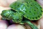 Thelma e Louise, la tartaruga nata con due teste