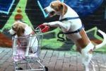 Maymo, il beagle che porta a spasso il suo cucciolo