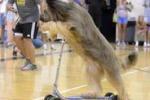 Percorre 20 metri in monopattino: cane verso il Guinness