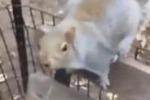 Infastidito dalle riprese, scoiattolo scappa col cellulare