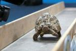 5 metri in 20 secondi: Bertie, la tartaruga più veloce del mondo