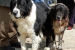 Cane di mannara da tutelare Candidato al titolo di «razza»