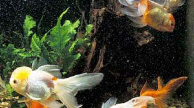 Trucchi per l acquario perfetto occhio a spazi e for Vasca x pesci rossi