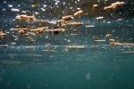 Torna l'alga tossica nel Palermitano