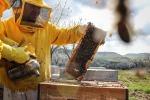 L'ape nera a rischio di estinzione: un progetto per salvarla