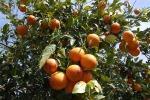 In primavera i giardini rinascono: boom di agrumi per i siciliani